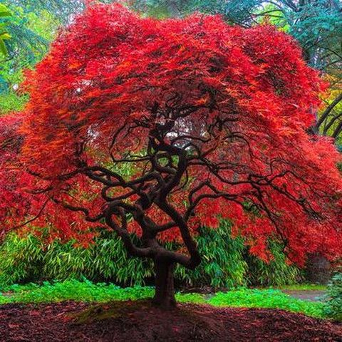 Fire Japanese Maple tree in the Fall
